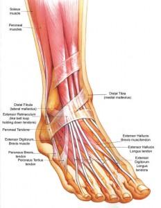 anatomia-na-kraka