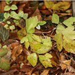 есенни-листа-Бистра